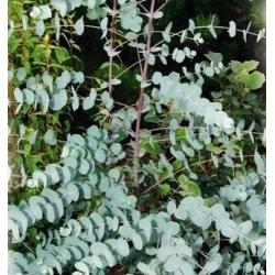 Golyós eukaliptusz - 10 magok - Eucalyptus globulus