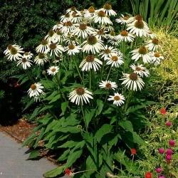 Echinacea, Coneflower White Swan - čebulica / gomolj / koren - Echinacea purpurea