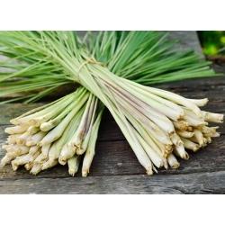 Цимбопогон - 400 семена - Cymbopogon citratus