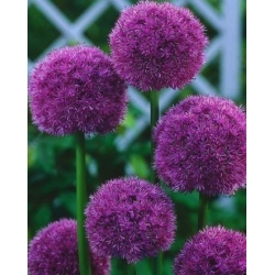 Allium His Excellency - bulb / tuber / root