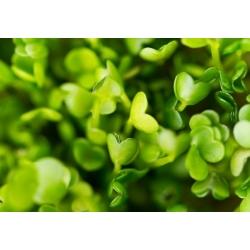 Idud - seemned - Põld-võõrkapsas - Eruca vesicaria