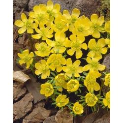Eranthis cilicica - zimohlavec cilicica - 5 kvetinové cibule