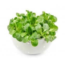 Corn Salad, Mache seeds - Valerianella locusta - 1700 seeds