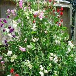 بذور البازلاء الحلوة البيضاء - Lathyrus odoratus - 36 بذرة - ابذرة