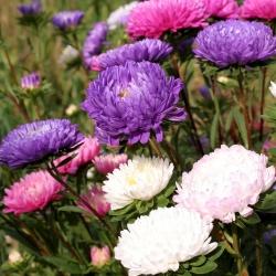 Хризантема Китай Насіння Aster - Callistephus chinensis - 500 насінин - насіння