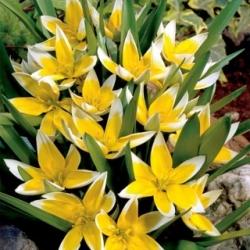 Tulp Tarda - pakend 5 tk - Tulipa Tarda