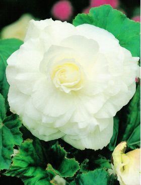 Begonia pełna - biała - 2 szt.