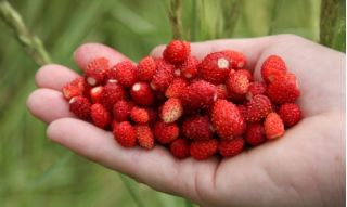 """Home Garden - Wild strawberry """"Attila"""", trailing variety - for  indoor and balcony cultivation - 330 seeds"""