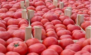 "Raspberry tomato ""Kujawski"""