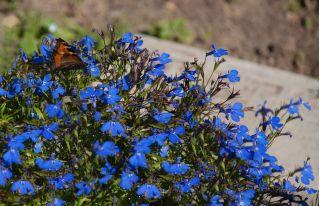 Blue edging lobelia; garden lobelia, trailing lobelia - 6400 seeds