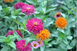 Cactus zinnia - seed mix - 120 seeds