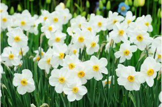 Set 5 – Poet's daffodil Recurvus – 25 pcs; poet's narcissus, nargis, pheasant's eye, findern flower, pinkster lily