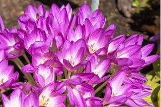 Rudens krokuss - 'Violet Queen' - liels iepakojums - 10 gab. pļavas safrāns, kaila dāma -