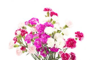 Carnation - variety selection; clove pink - 275 seeds
