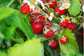 Wild Strawberry Rugia seeds - Fragaria vesca - 640 seeds