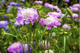 Scabiosa, pincushion flower - colour mix - 110 seeds