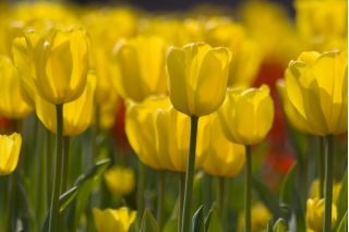 Tulipa Yellow - Tulip Yellow - 5 bulbs