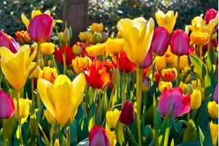 Tulipa Mix - Tulip Mix - 5 bulbs