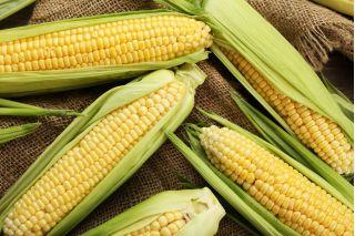 """Sweet corn """"Golden Dwarf"""" - 120 seeds"""