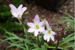 Ipheion Charlotte Bishop - Spring starflower Charlotte Bishop - 10 bulbs