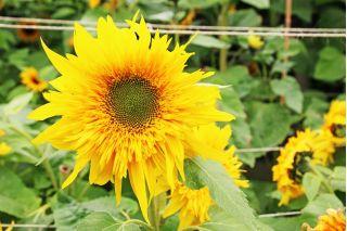 41+ Sonnenblume mit mehreren blueten ideen