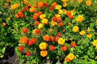 French marigold - variety selection - 350 seeds