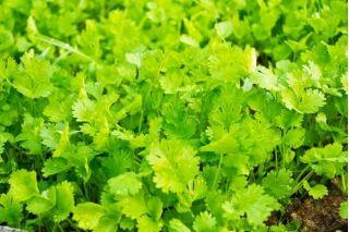 Coriander seeds - Coriandrum sativum - 300 seeds