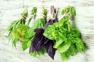 Sweet basil - a selection of varieties - Ocimum basilicum - 325 seeds