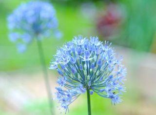 Allium caeruleum - 5 bulbs