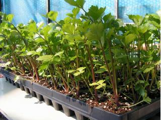 Bandeja de semillas, maceta de vivero, inserto - 18 celdas - 1 pieza -