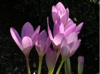 Rudens krokuss - 'Ceriņu brīnums' - liels iepakojums - 10 gab. pļavas safrāns, kaila dāma -