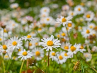 English Daisy, Lawn Daisy seeds - Bellis perennis - 1200 seeds