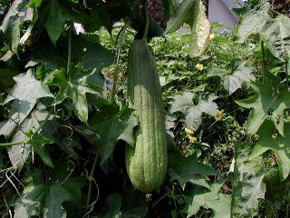 Luffa Gourd, Sponge Gourd, Egyptian cucumber, Vietnamese luffa - 12 seeds