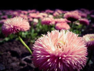 """Pink large flowered daisy """"Maria"""" - 600 seeds"""