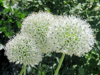 Ornamental onion White Giant - large package! - 10 pcs