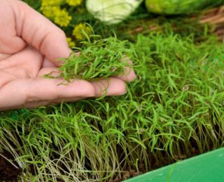 Microgreens - Heaven - mild mix - 10-piece set with a growing container