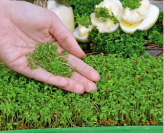 Microgreens - Garden cress - young leaves with exceptional taste - 1800 seeds