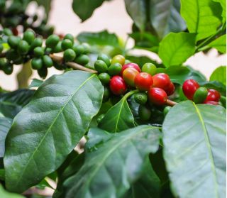 Arabica Coffee, Coffee Shrub of Arabia seeds - Coffea arabica - 8 seeds