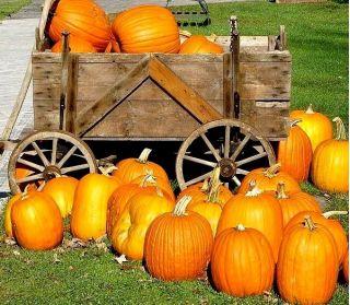 Jack O' Lantern Pumpkin seeds - Cucurbita pepo - 16 seeds