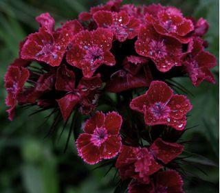 Sweet William Black Magic seeds - Dianthus barbatus - 450 seeds