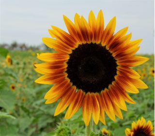 """Ornamental sunflower """"Twilight Zone"""" - yellow with red-brown ring"""