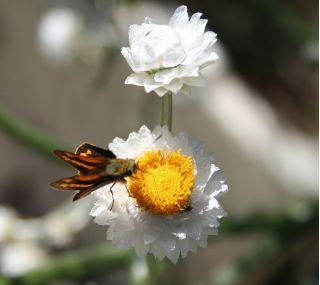 Winged everlasting (Ammobium alatum)