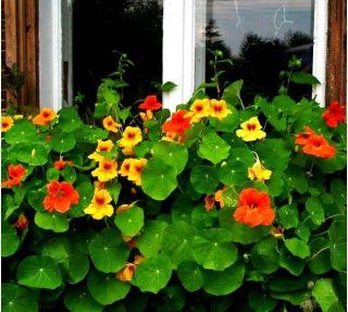 Garden Nasturtium - mix seeds - Tropaeolum majus - 40 seeds