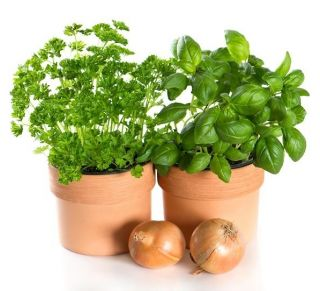 Sweet Basil seeds - Ocimum basilicum - 650 seeds