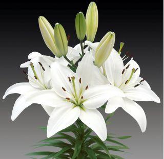 Lirios Asiático Blanco - Lilium Asiatic White