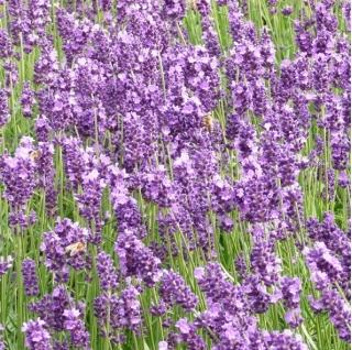English Lavender, True Lavender seeds - Lavendula vera - 180 seeds