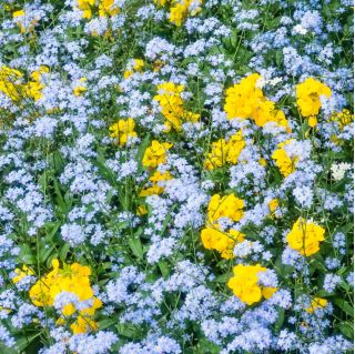 Alpine Forget-Me-Not - blue - seeds - Myosotis alpestris - 450 seeds