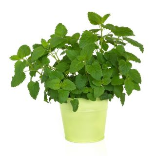 "Lemon balm ""Limonella"" - aromatic novelty! - 1000 seeds"