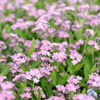 Pink Forget-Me-Not seeds - Myosotis alpestris - 660 seeds