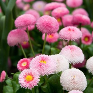 Pomponette Daisy - a selection of varieties -  Bellis perennis - 690 seeds